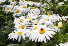 Bumble bee enjoying a flowerbed of daisies. Bumble bee caught enjoying the pollen on a bunch of flowering daisies Royalty Free Stock Photography