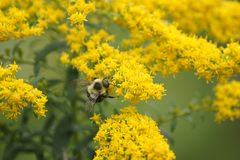 Bumble bee enjoying a goldenrod flower. Bumble bee enjoying the offerings compliments of a goldenrod plant in a meadow on a sunny summer day Royalty Free Stock Photography