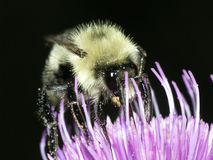 Bumble Bee Feeding Royalty Free Stock Images