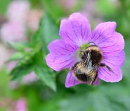 Bumble Bee feeding Royalty Free Stock Image