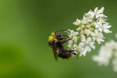 Bumble Bee feeding on nectar. A wet Bumble Bee feeding on the nectar of a white flower stock photography
