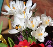 Bumble Bee feeding on White Crocus. In early spring, a bumblebee (a member of the bee genus Bombus, in the family Apidae) gathers nectar to store in their nest Royalty Free Stock Image