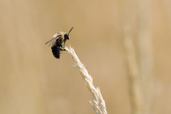 Bumble Bee in a Field of Grass. A bumble bee perched on a grass seed head Royalty Free Stock Photography