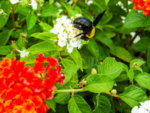 bumble bee find sweet of lantana flower Stock Photo