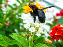 bumble bee find sweet of lantana flower Royalty Free Stock Photography