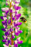 Bumble bee flies to a flower Royalty Free Stock Images