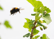 Bumble bee flies to flower Stock Images