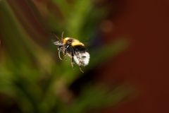 Bumble bee in flight. Bumble bee caught flying between flowers Royalty Free Stock Images