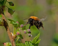 Bumble bee in flight in black blooming currant bush Stock Photos