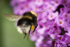 Bumble Bee in flight Stock Images