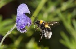 Bumble bee in flight Stock Photos