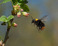 Bumble bee in flight to  currant flowers. Bumble bee caught flying between flowers in black currant bush Royalty Free Stock Image
