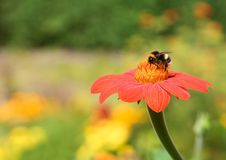 Bumble-bee on a flower Royalty Free Stock Images