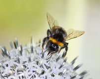 Bumble-Bee on a Flower. Macro of Bumble-Bee on a Flower Royalty Free Stock Photo