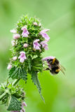 Bumble bee is on the flower. Royalty Free Stock Image