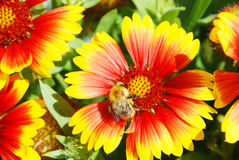 Bumble-bee on a flower Stock Images