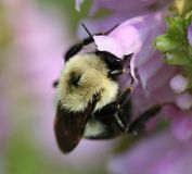 Bumble bee on flower. A macro photo of a bumble bee on a lavender flower Royalty Free Stock Images