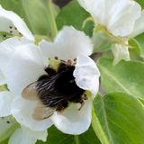 Bumble bee. In flower Stock Images