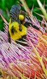 Bumble bee on flower Stock Images