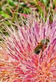 Bumble bee on flower Stock Image