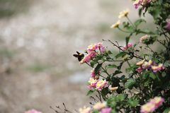 Bumble Bee on Flower at Temple of Olympian Zeus, Athens, Greece royalty free stock photo