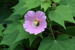 Bumble Bee in a Flower. Bumble Bee inside Pink Flower Hibiscus gathering Nectar and spreading pollen Stock Photography
