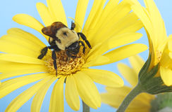Bumble Bee on a Flower Stock Image