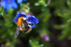 Bumble bee on flower royalty free stock image