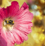 Bumble bee in flower mallow. On yellow bokeh background Stock Photo
