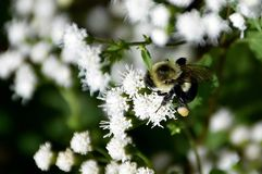 Bumble bee flower pollen Royalty Free Stock Photo
