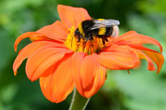 Bumble bee on flower Stock Photography