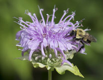 Bumble Bee on flower Stock Photos