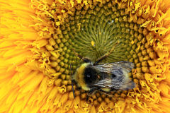 Bumble bee on a flower. Sunflower Stock Images