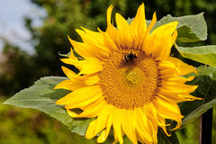 Bumble Bee On Flower Of Sunflower. Bumble bee extracting nectar out of sunflower pistil Royalty Free Stock Image