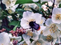 Bumble bee on a flower. Bumble bee on a white flowers Stock Photography