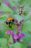 Bumble-bee on the flowering plant Royalty Free Stock Photography