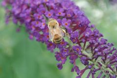 Bumble Bee on flowers of butterfly bush. This bumble bee is collecting nectar from the flowers on a butterfly bush royalty free stock photos