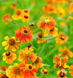 Bumble-bee flying. In Helenium flowers Stock Images