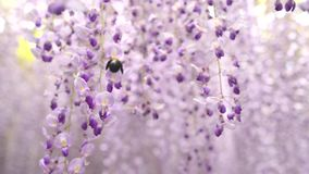 Bumble bee flying around Wisteria tunnel. The fantastical world full of Wisteria flowers stock footage