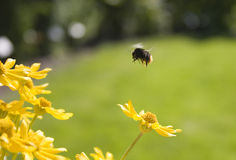 Bumble bee. Flying over flowers Stock Photo