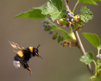 Bumble bee flying to flower stock images