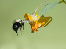 Bumble Bee Flying to  Jewelweed Flower Stock Photography