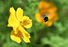 Bumble Bee flying to Yellow Cosmos Flower. Common eastern Bumble Bee(Bombus Impatiens) with pollen flying near a  Cosmos Flower Royalty Free Stock Image