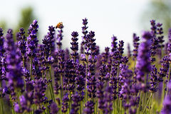 A bumble bee flyuing in purple lavender Stock Photo