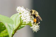 Bumble Bee Stock Image