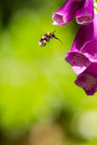 Bumble bee with full pollen sac and extended proboscis hovering. In front of foxglove flower. Macro insect photography. Summer garden pollination Royalty Free Stock Photo