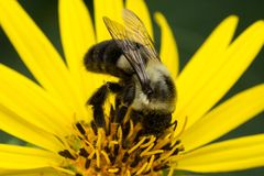 Bumble bee gathering pollen from yellow daisy royalty free stock photography