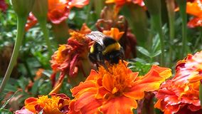 Bumble bee on a gentle flower stock video footage