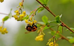 Bumble bee hanging on a bunch of flowers Stock Images
