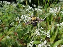 Bumble Bee Harvesting Pollen from White Flowers. Yellow and black striped bee, feeding on white flowers in a Georgia garden stock photos